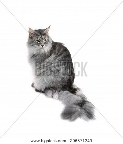 Grey maine coon cat isolated on white background
