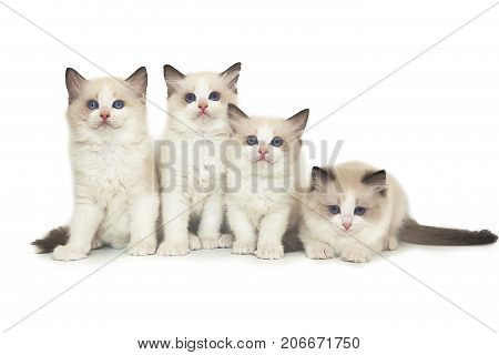 Four little cute white ragdoll kitten on white background.