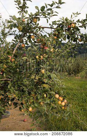 Apples In Orchard In Countryside