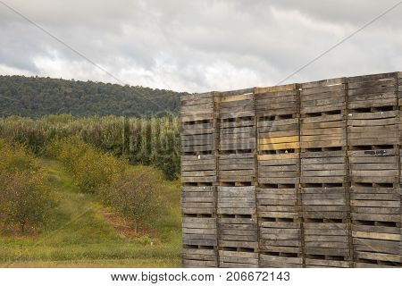 Wooden Apple Bins In Orchard
