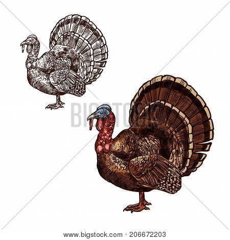 Turkey bird sketch icon for Thanksgiving Day seasonal greeting design template. Vector isolated symbol of traditional turkey for October Thanksgiving holiday celebration