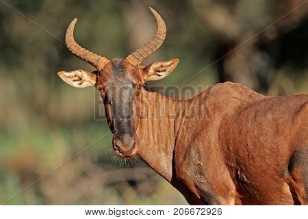Portrait of a rare tsessebe antelope (Damaliscus lunatus, South Africa