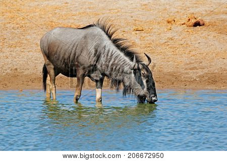 A blue wildebeest (Connochaetes taurinus) drinking water, Etosha National Park, Namibia