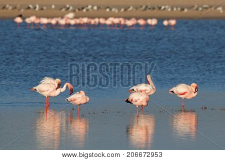 Greater flamingos (Phoenicopterus roseus) in shallow water, South Africa