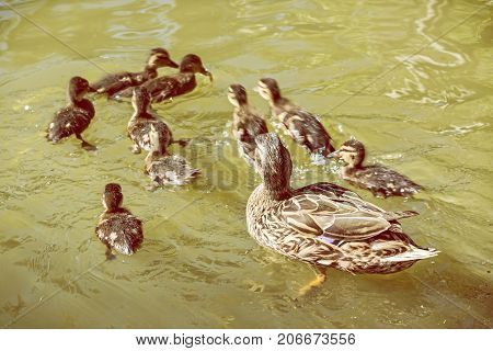 Wild Mallard duck with youngs - Anas platyrhynchos in the water. Yellow photo filter. Spring time. Birds scene. Young ones.