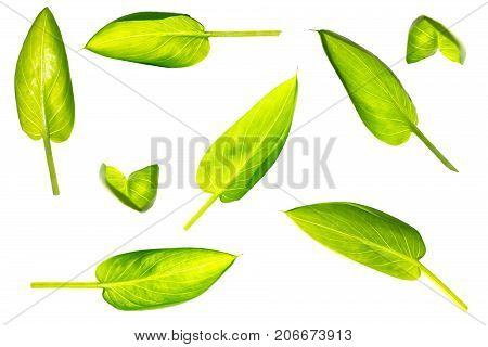 Isolated set of Calla leaf on a white background angle