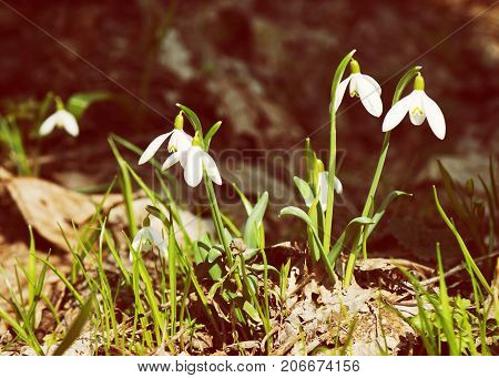 Detail photo of white snowdrops. Spring time. Yellow photo filter.