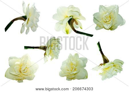 Terry Narcissus flower isolated set on white background