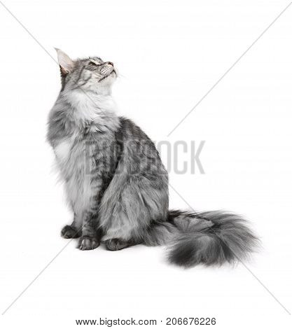 Gray maine coon cat isolated on white background
