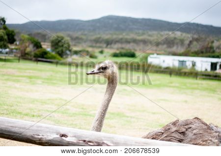 Ostrich bird sticking out its neck and looking africa safari animal travel