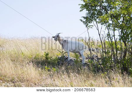 One white goat grazing in a meadow near a tree in the shade. a goat with horns looks proudly into the distance sunny autumn day. Animal concept. Close up.