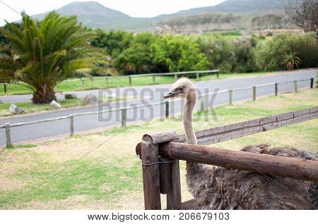 Ostrich at farm in south africa large flightless bird