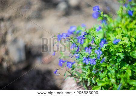 Blue Trailing Lobelia Sapphire flowers or Edging Lobelia Garden Lobelia in botanical garden of Tbilisi Georgia