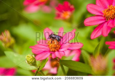 Macro Closeup Of Bright Pink Daisies With Yellow Pollen And Bee