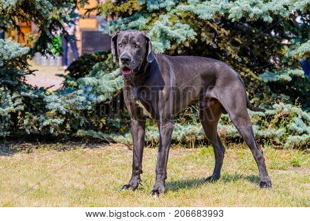 Great Dane stands. The Blue color  Great Dane stands on the grass in park.