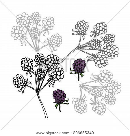Brambleberry. Liner Vector Illustration On White