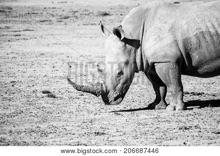 White rhino on safari in South Africa reserve