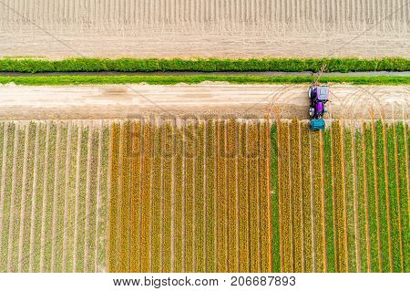 Aerial view on the tractor working on the tulip field