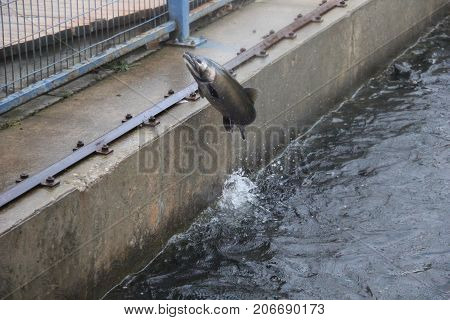 Salmon jumping from the water at a fish weir
