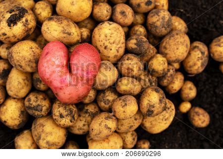Fresh potato red in the form of heart lies on a small group of yellow potatoes. There is a place for the text