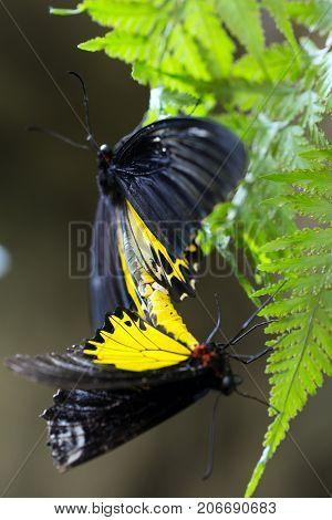 Beautiful Butterflies Mating