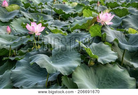 Lotus flower - symbol of divine beauty and purity.