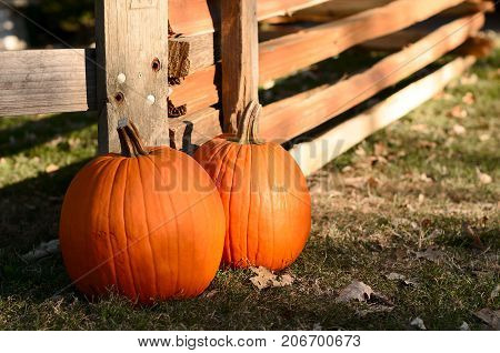 Two ripe pumpkins. Picking pumpkins on pumpkin patch. Halloween Thanksgiving holidays season