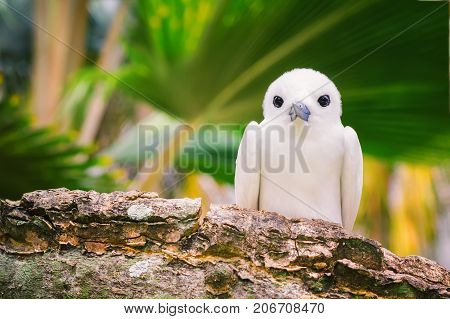 The Fairy Tern Bird (or holy ghost bird - species Sterna nereis) common Bird in Seychelles