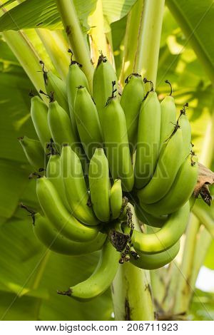 The green bananas with bunch grown on a banana tree in the plantation banana and sunlight in the morning