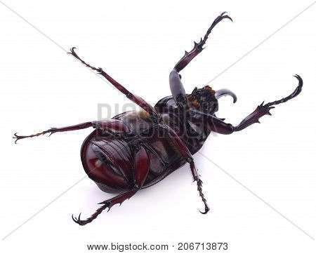 Beetles in nature Rhino beetle (Dynastinae) insect, bug, longhorn, unicorn, hercules, beautiful, green, color, food