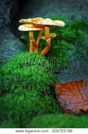 Poisonous fly agaric toadstool in moss in forest