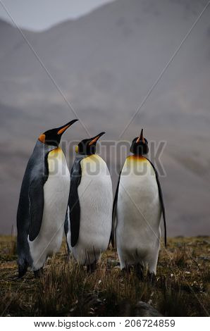 Fortuna Bay, South Georgia, is home to one of the largest King Penguin Rookeries on the Island. Here, three King Penguins are engaged in a courtship ritual.