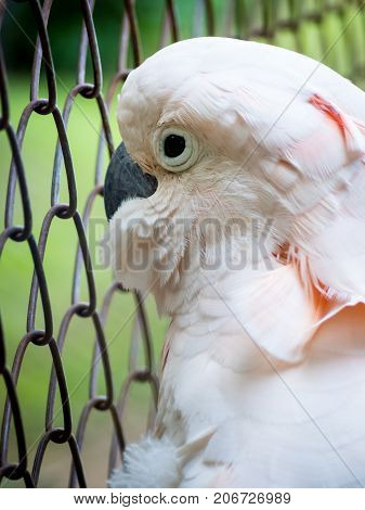 Close-up image of unhappy Cockatoo (Cacatua Vieillot) bird imprisoned in cage. Cruelty animal concept.