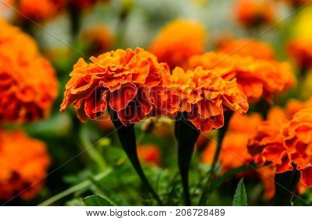 Mexicn Marigolds (tagetes Erecta, Aztec Marigold) On A Flowerbed