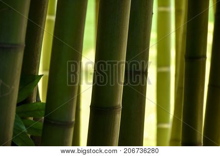 Closeup Of Bamboo Trunks In A Bamboo Forest, With Nice Hues Of Green