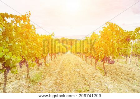 grape harvest at sunset - autumn Tuscany Italy