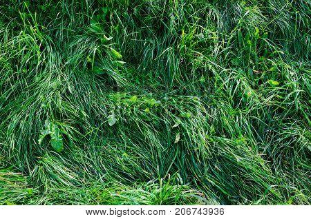 Long Green Grass Texture Top View. Nature Background