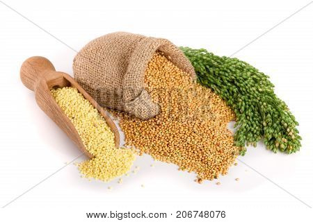 Millet in a wooden scoop, burlap bag and green spikelets isolated on white background.