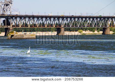 Little Egret Or White Heron (egretta Garzetta) On The River Dnieper