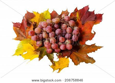 Purple grape and autumn leaves isolated on white background
