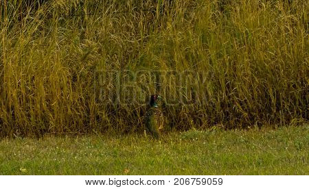 A male pheasant just before he sneaks off into the deep grass