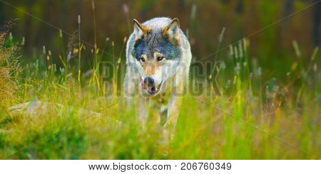 Wild male wolf walking in the grass in a autumn colored forest. Sneaks silent in the grass with his tongue out.