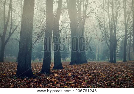 Foggy autumn landscape. Autumn bare trees in the autumn park in dense fog. Somber gothic autumn background. Autumn foggy nature. Bare autumn trees in the foggy autumn park