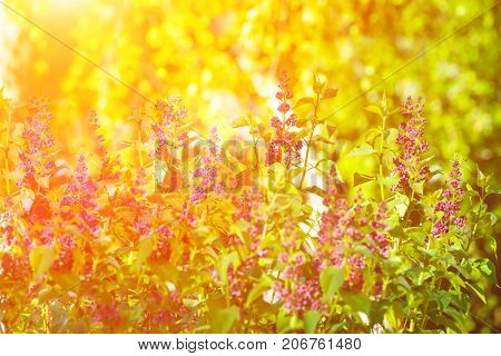 Lilac Bush in Spring Summer Time beautiful Purple Flower Twigs Vibrant Green Foliage Golden Sunlight Forest Meadow Tranquility Purity Inspirational Copy Space