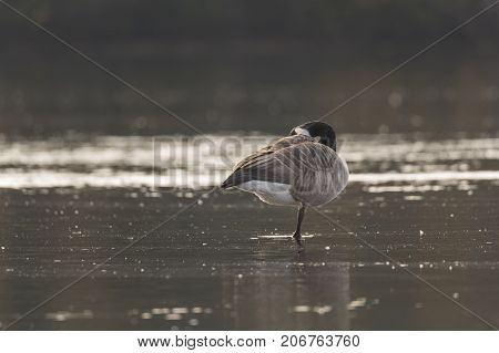 Canada Goose Standing on One Leg in water pluming its feathers.