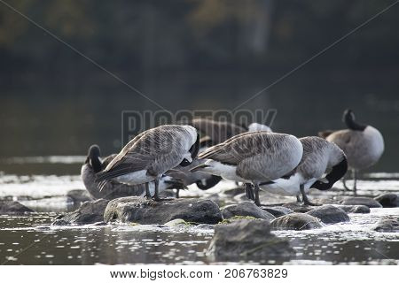 Canada Geese Standing on Rocks in water pluming feathers.