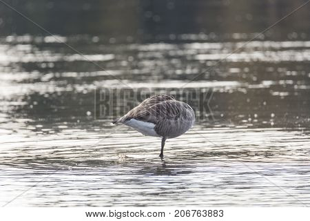 Canada Goose Standing on One Leg in water without head.