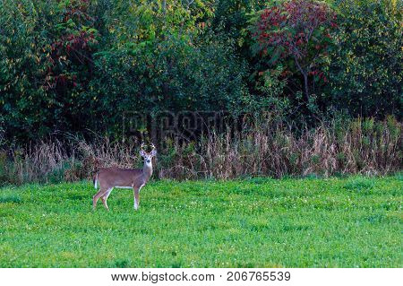 White-tailed buck deer (odocoileus virginianus) standing at the edge of a field in autumn