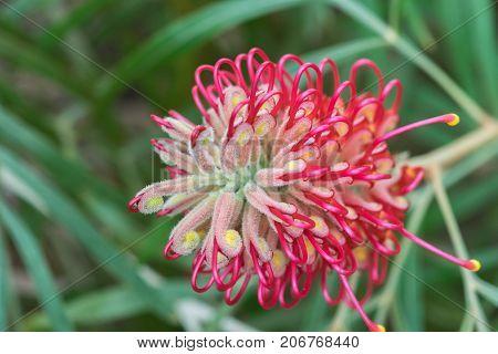 red Grevillea flower, Bonnie Prince Charlie close up.
