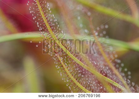 Close up of Sundew Drosera Capensis, carnivorous species of perennial sundew native to the Cape in South Africa.
